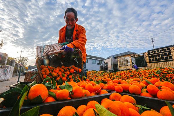 界首柑橘批量采摘