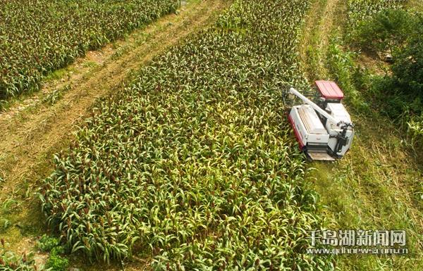 农村高粱机械化收割