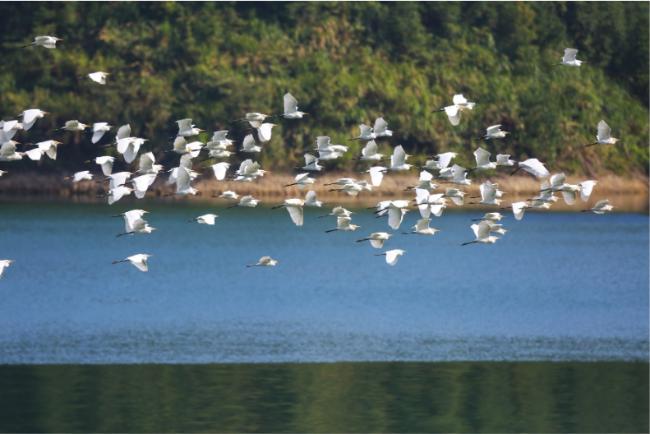 山湖间白鹭翩飞